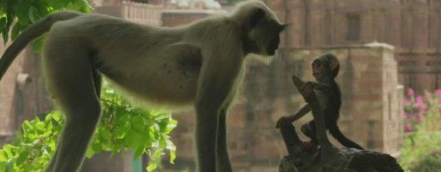 лангуры и кукла обезьянки