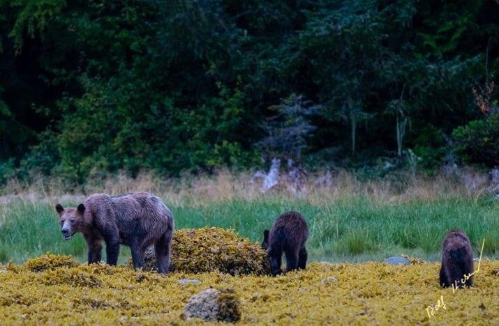 голодные медведи