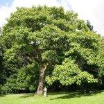 Кири (Императрица) - лидер среди деревьев по производству кислорода