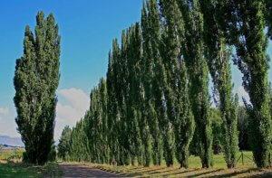 тополь дерево
