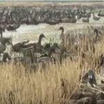 Зеленый метод или как 10 000 уток очищает рисовое поле от паразитов