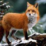 Человеческая деятельность меняет рацион диких хищников