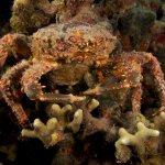 Как крабы помогли восстанавливать карибские коралловые рифы