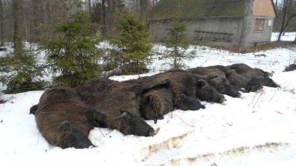 браконьеры погубили зубров