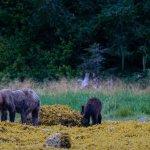 Недоедающие медведи: сокращение лосося из-за изменения климата ставит под угрозу запасы зимней спячки