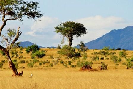 саванна деревья