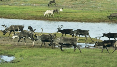 олени Север Арктика