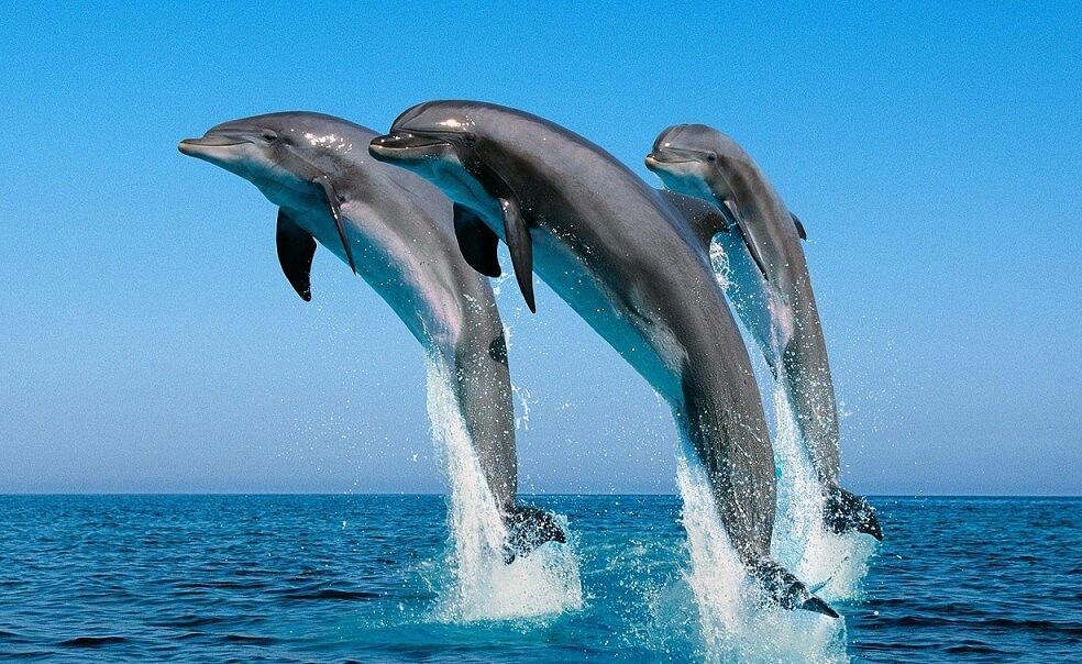 дельфины стайка