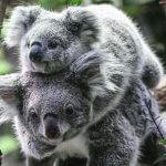 Сокращение популяций коал спасает эвкалиптовые леса