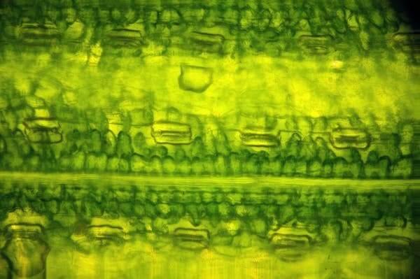 лист под микроскопом