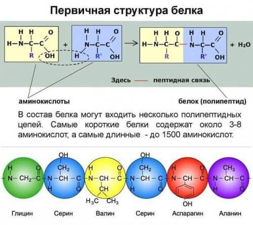 полипептидная цепь белка